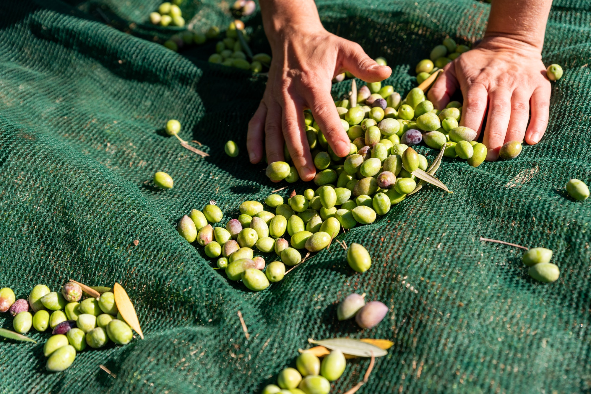 Woman hands are picking fallen olives from nets under olive trees